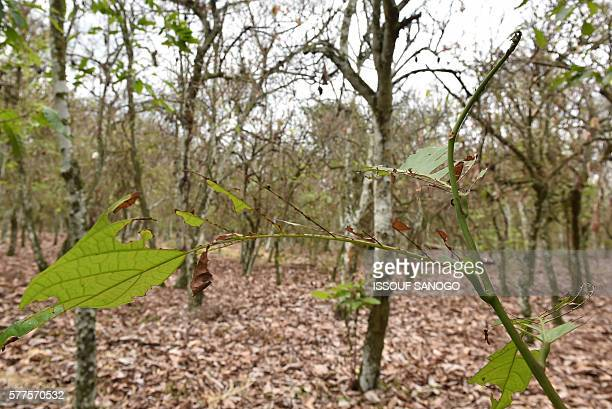 A picture taken on July 13 2016 shows a cocoa tree damaged by a caterpillar in a cocoa plantation in Tiassale in the southeastern part of Ivory Coast...