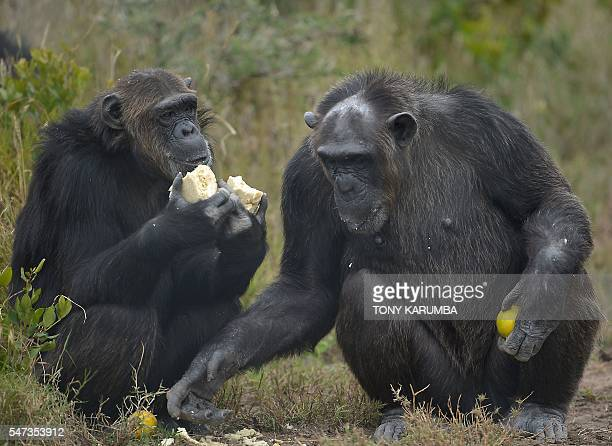 A picture taken on July 14 2016 shows rescued male chimpanzees eating in an enclosure at the Sweetwaters sactuary Kenya's only greatape sanctuary...