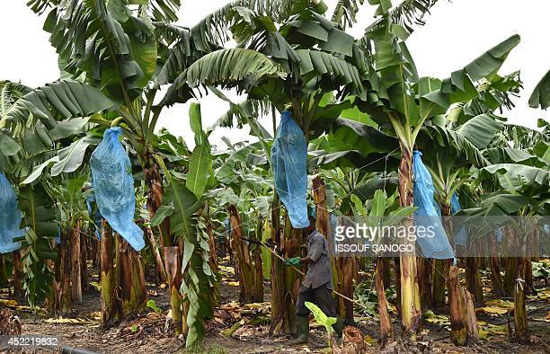 A picture taken on July 15 2014 shows an undamaged banana plantation outside the Ivorian town of Dabou 60 kms west of Abidjan following flooding and...