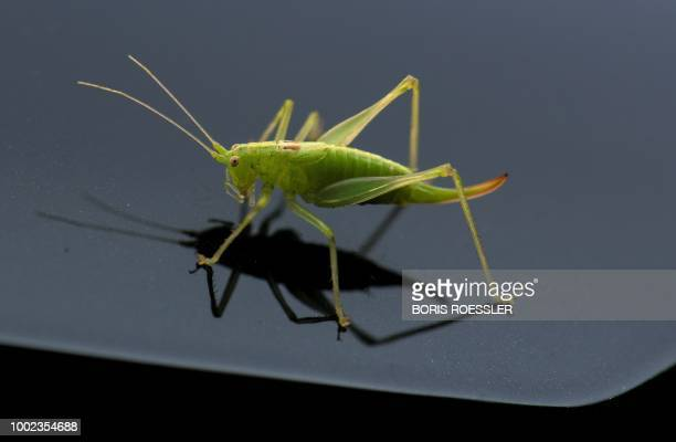 A picture taken on July 19 2018 shows a grasshopper on the hood of a car in the blazing sun in Frankfurt am Main / Germany OUT
