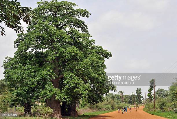 A picture taken on July 25 2007 shows a baobab tree along a road in the village of Thiawe Senegal where the baobab is called the Tree of Life The...