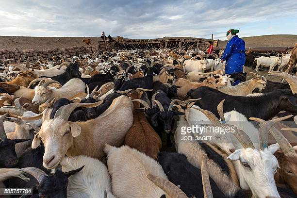 Picture taken on July 25, 2016 shows a woman and her daughter milking goats near their yurts in the Omnogovi Province, Gobi Desert, southern...