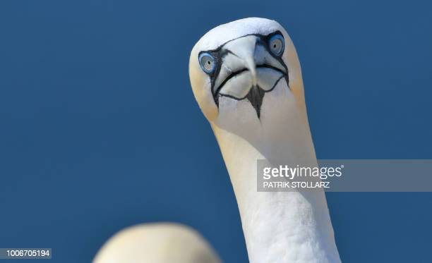 A picture taken on July 28 2018 shows a gannet's head on the German island Helgoland northern Germany