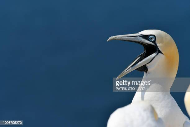 """Picture taken on July 28, 2018 shows a gannet's head on the German island """"Helgoland"""", northern Germany."""