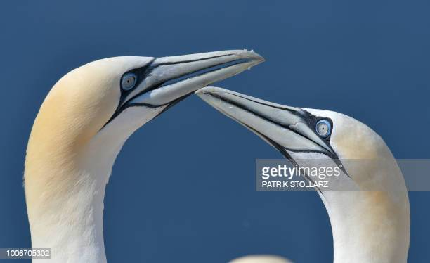 A picture taken on July 28 2018 shows gannets' heads on the German island Helgoland northern Germany /
