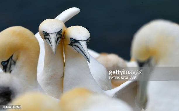 A picture taken on July 28 2018 shows gannets' heads on the German island 'Helgoland' northern Germany