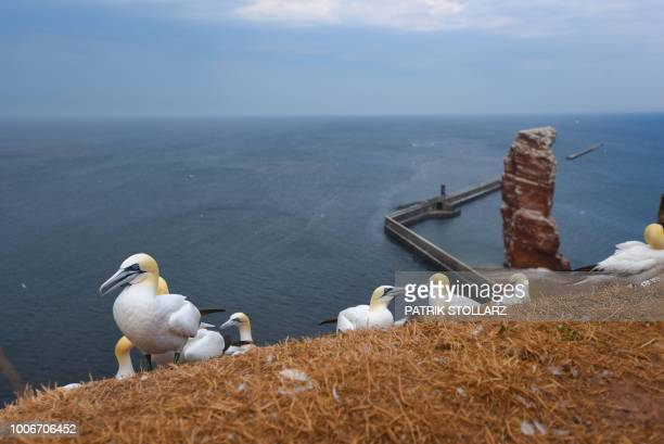 A picture taken on July 28 2018 shows gannets on a cliff on the German island Helgoland northern Germany