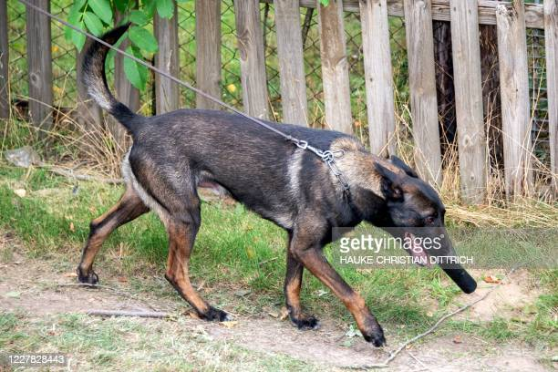 Picture taken on July 29, 2020 shows a police dog searching on a path leading to a garden allotment, where police conduct a search in the northern...