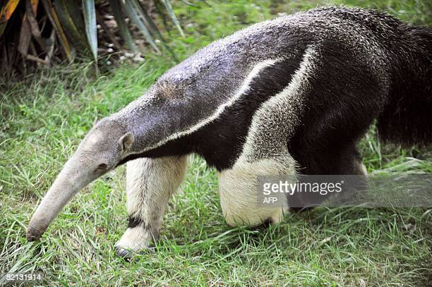 Picture taken on July 30, 2008 of Luca, an eight-year-old giant male anteater, a few days after its arrival at the Sables-d'Olonne's zoo, western...