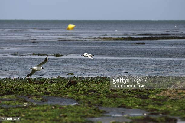 A picture taken on July 9 2014 shows green algae on a beach in GrandcampMaisy northwestern France The green algae which plagues the beaches of...