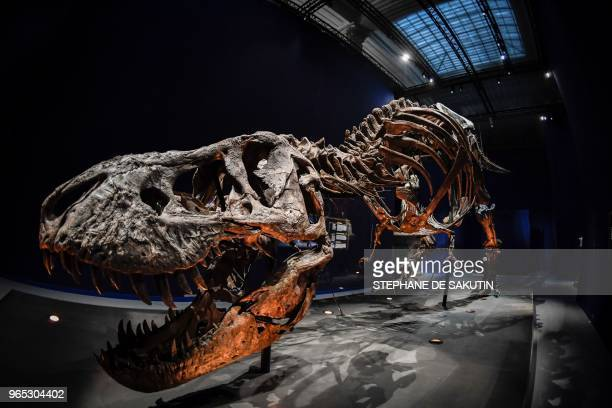 A picture taken on June 1 2018 shows a skeleton of a Tyrannosaurus Rex dinosaur displayed at the French National Museum of Natural History situated...