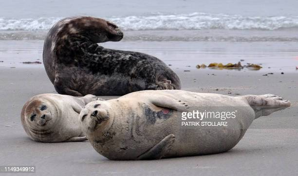 A picture taken on June 11 2019 shows seals on the beach on the German island Helgoland northern Germany