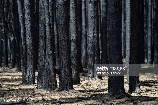 Picture taken on June 11, 2020 shows coalified trees in the forest near the village of Ilovnytsya, in the Chernobyl thirty-kilometer zone. - Huge...