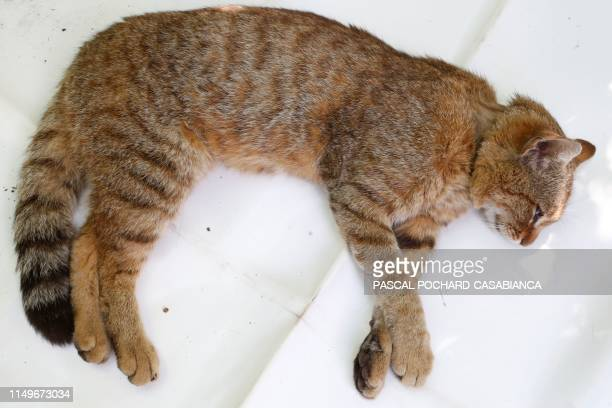 A picture taken on June 12 2019 in Asco on the French Mediterranean island of Corsica shows a ghjattuvolpe Felis Silvestris The Corsican fixcat is a...