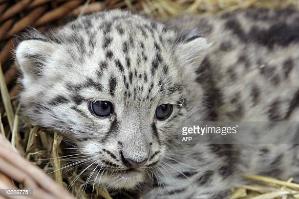A picture taken on June 19 2010 shows a one month baby snow leopard born at the Parc des Felins a wildlife park located in Nesles a southerneastern...