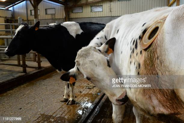 """Picture taken on June 21 shows cows with a """"porthole"""" surgically inserted into their sides to allow access to their stomach contents, in the research..."""