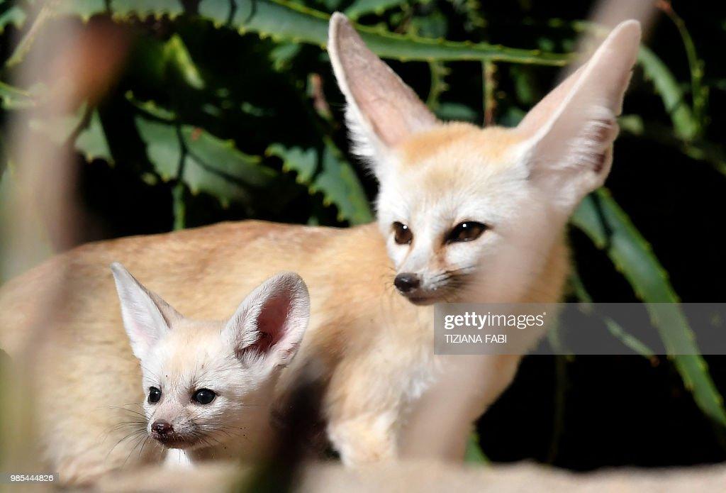 A picture taken on June 27, 2018 shows one fennec fox puppie