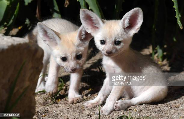 A picture taken on June 27 2018 shows two fennec fox puppies born for a few weeks at the Rome's biopark