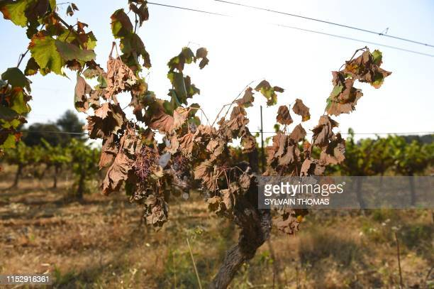A picture taken on June 30 2019 shows vines badly burnt by the sun and heat in a vineyard in Sussargues near Montpellier southern France Winegrowers...