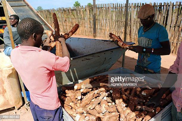 A picture taken on June 6 2015 shows workers from SABMiller subcontractor Dadtco in Ribaue northern Mozambique throwing cassava in a mobile...