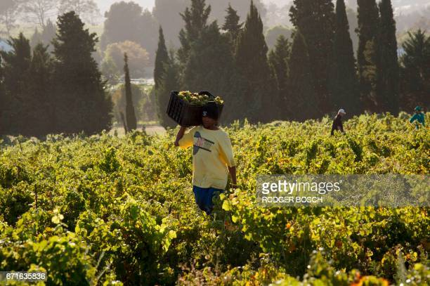 A picture taken on March 1 2017 shows a farmworker carrying a crate of newly picked up Chenin grapes at the Ken Forrester wine estate close to...