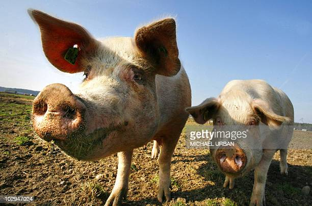 Picture taken on March 12, 2007 shows pigs of German organic farmer and pig breeder Bernd Schulz on his farm in Goemnik, eastern Germany. China has...