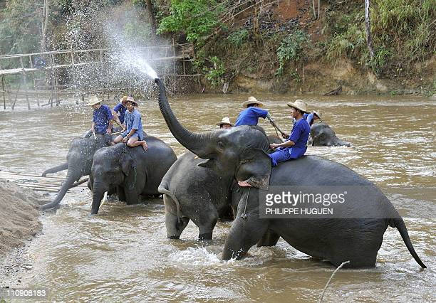A picture taken on March 18 2011 at the Maetaman Elephant camp in Chiang Mai northern Thailand shows elephants being washed AFP PHOTO PHILIPPE HUGUEN