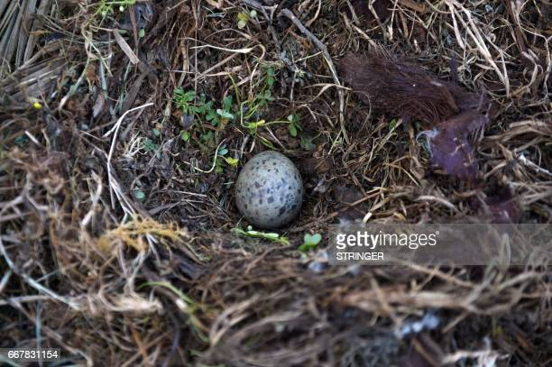A picture taken on March 19 2017 shows an egg lying in the nest of a Yellowlegged Gull near the Tamentfoust harbor east of the capital Algiers The...
