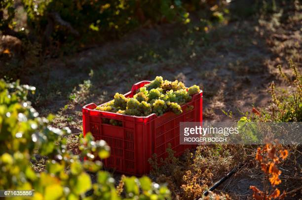 A picture taken on March 2 2017 shows a crate of newly picked Chenin grapes waiting to be taken for pressing at the Ken Forrester wine estate close...