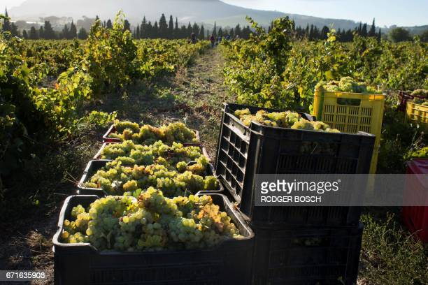 A picture taken on March 2 2017 shows crates of newly picked Chenin grapes waiting to be taken for pressing at the Ken Forrester wine estate close to...
