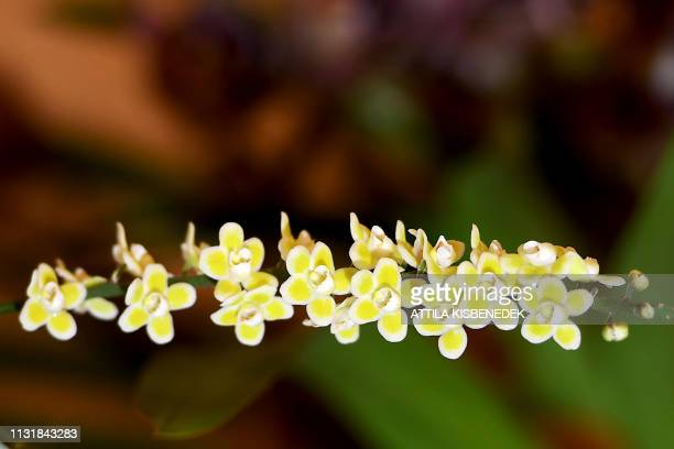 A picture taken on March 21 2019 shows a chiloschista orchid on display at the Museum and Library of Hungarian Agriculture during the Orchids of Asia...