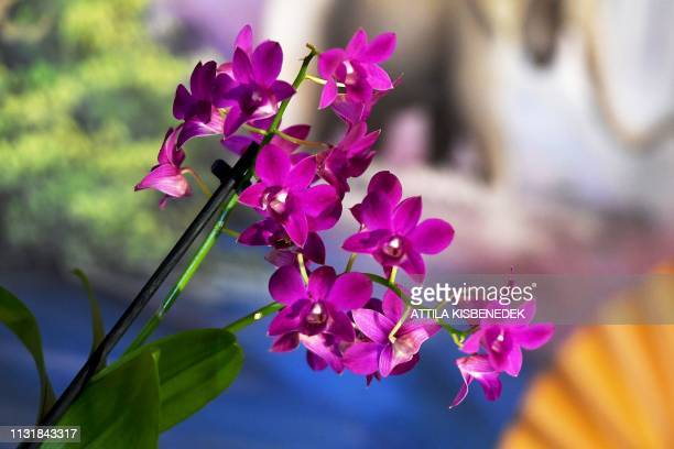 A picture taken on March 21 2019 shows a dendrobium orchid on display at the Museum and Library of Hungarian Agriculture during the Orchids of Asia...