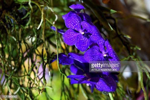 A picture taken on March 21 2019 shows a phalaenopsis hybrid orchid on display at the Museum and Library of Hungarian Agriculture during the Orchids...