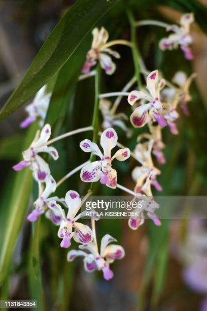 A picture taken on March 21 2019 shows an eulphia orchid on display at the Museum and Library of Hungarian Agriculture during the Orchids of Asia...
