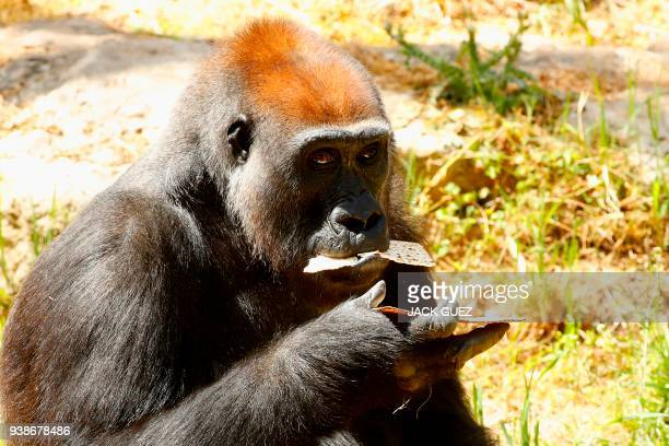 A picture taken on March 27 2018 shows a gorilla eating traditional Matza eaten during the upcoming Jewish holiday of Passover at the Ramat Gan...