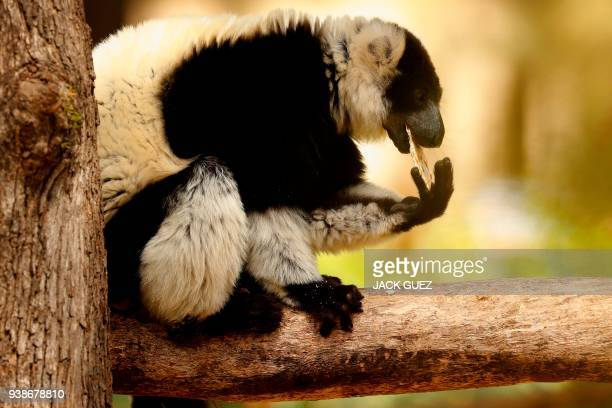 A picture taken on March 27 2018 shows a lemur eating traditional Matza eaten during the upcoming Jewish holiday of Passover at the Ramat Gan Safari...