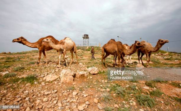 A picture taken on March 28 2018 shows an elderly Palestinian grazing camels near an Israeli military prison south of the Palestinian village of...