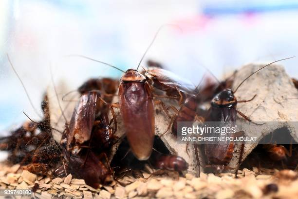 A picture taken on March 29 2018 shows cockroaches locked in a container at the laboratory of the centre of research on infectious diseases of the...