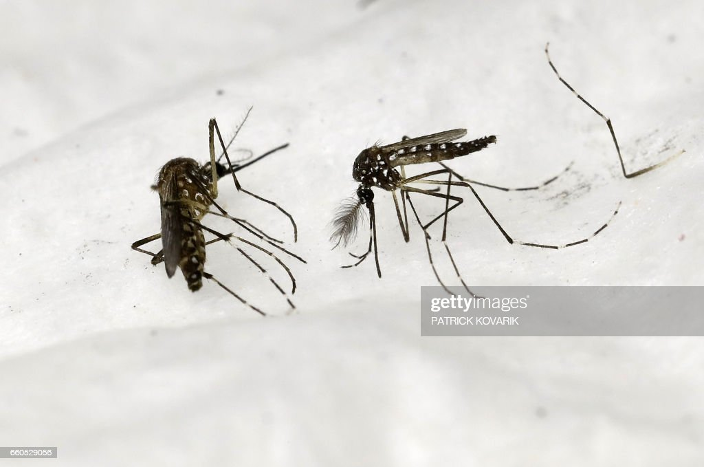 FRANCE-RESEARCH-HEALTH-MOSQUITOES : News Photo