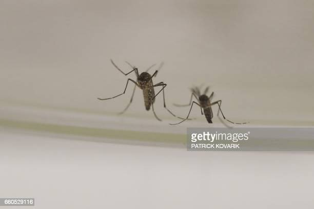A picture taken on March 30 2017 shows mosquitoes at the insectarium of The Institut Pasteur a private nonprofit foundation in Paris whose mission is...