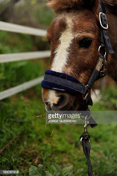 A picture taken on March 5 2013 shows a horse grazing at the Association CyD Santamaria for abused and neglected horses in Alhaurin el Grande near...