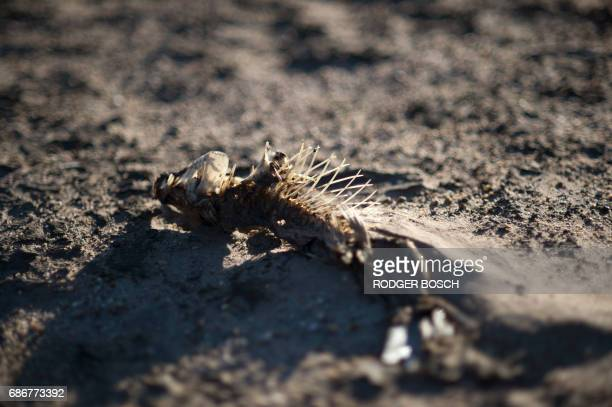A picture taken on May 10 2017 shows a dried out fish lying on the sand at Theewaterskloof Dam which has less than 20% of it's water capacity near...