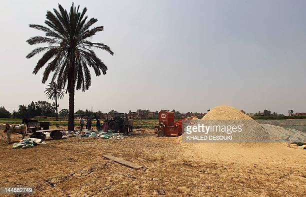 A picture taken on May 15 2012 shows Egyptian farmers harvesting wheat crops in a field in the village of Kafr Sandanhur some 35 kilometres north of...