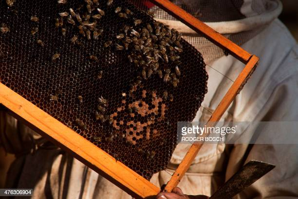 FINDLAY A picture taken on May 18 2015 shows a beekeeper inspecting a brood frame suspected of having been infected with the foulbrood bacterial...