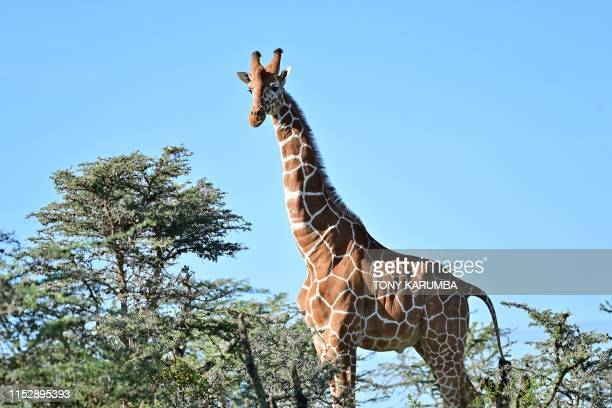 A picture taken on May 28 2019 shows a male reticulated giraffe towering over scrub at OlPejeta conservancy at Laikipia's county headquarters Nanyuki...