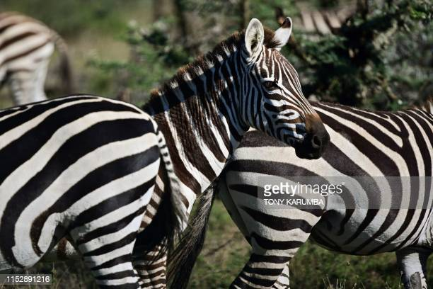A picture taken on May 28 2019 shows zebra basking in the morning sun at OlPejeta conservancy at Laikipia's county headquarters Nanyuki OlPejeta a...