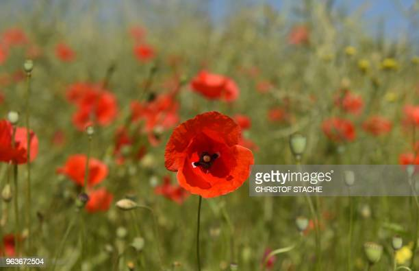 A picture taken on May 30 2018 shows poppy flowers in a meadow near the small Bavarian village of Alling southern Germany