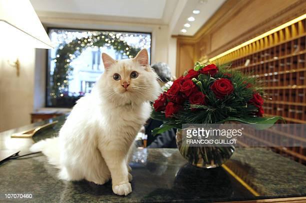UN CHAT PERSAN DE BIRMANIE RESIDENT A L'ANNEE D'UN PALACE PARISIEN Picture taken on November 17 2010 at the Hotel Le Bristol in Paris of Faraon a...