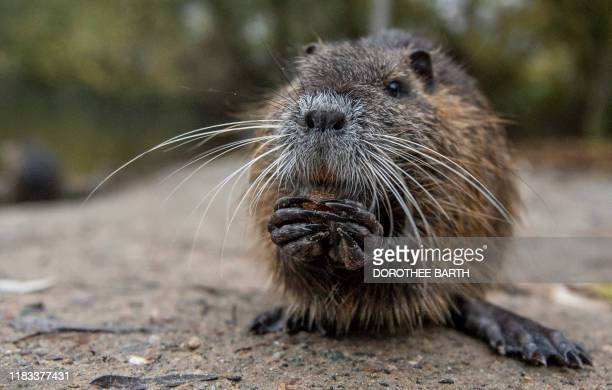 A picture taken on November 18 2019 in Kelsterbach near Frankfurt am Main western Germany shows a young nutria rat at the Moenchbruch nature reserve...