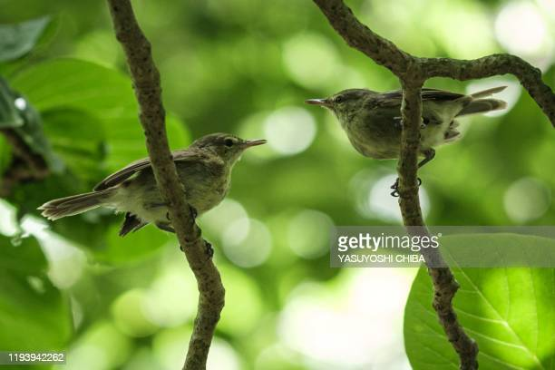 Picture taken on November 21 2019, shows Seychelles warblers on Cousin Island, a nature reserve island managed by Nature Seychelles, national...